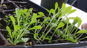 chicory seedlings